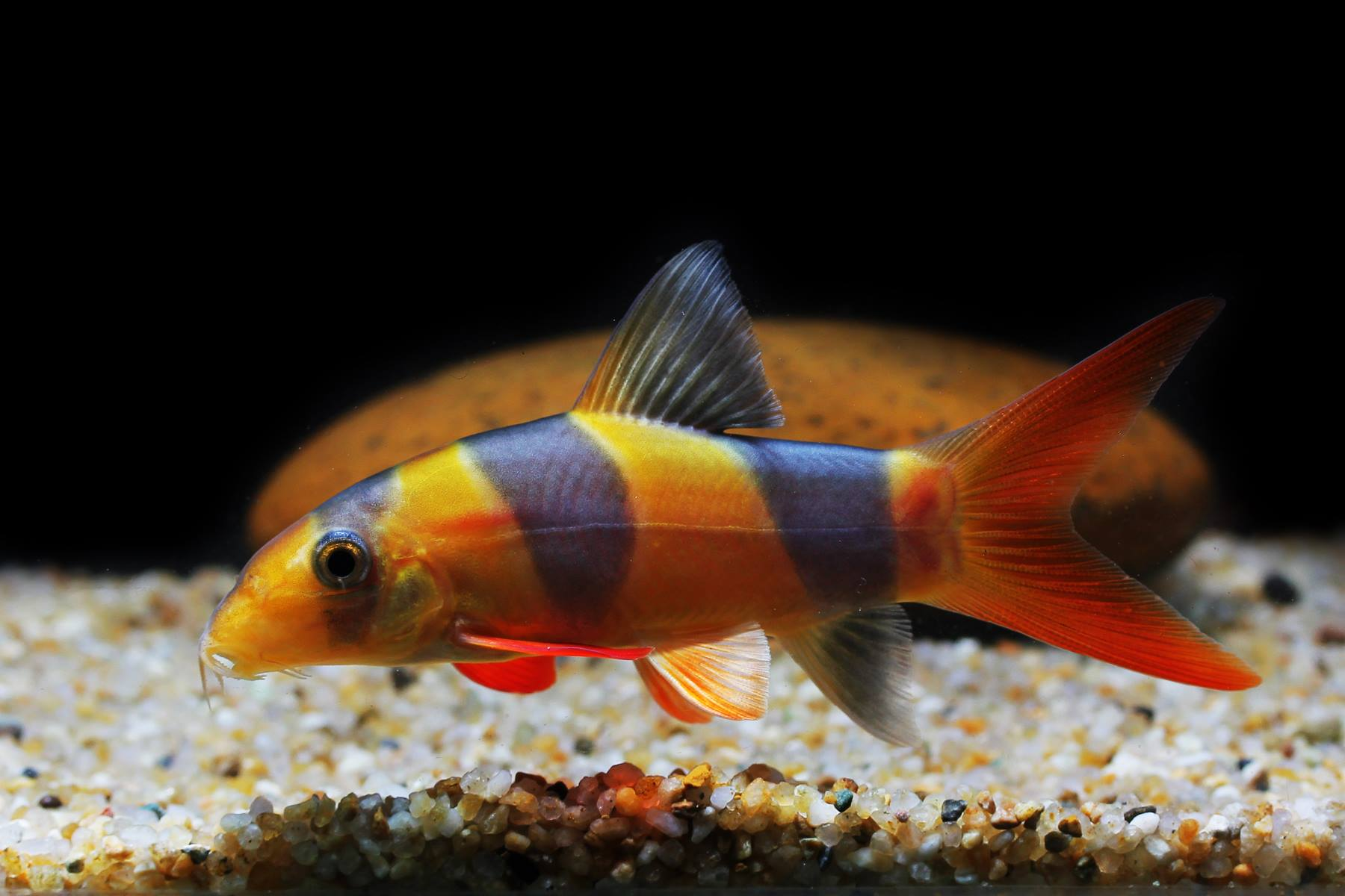 ปลาลายส้มดำ