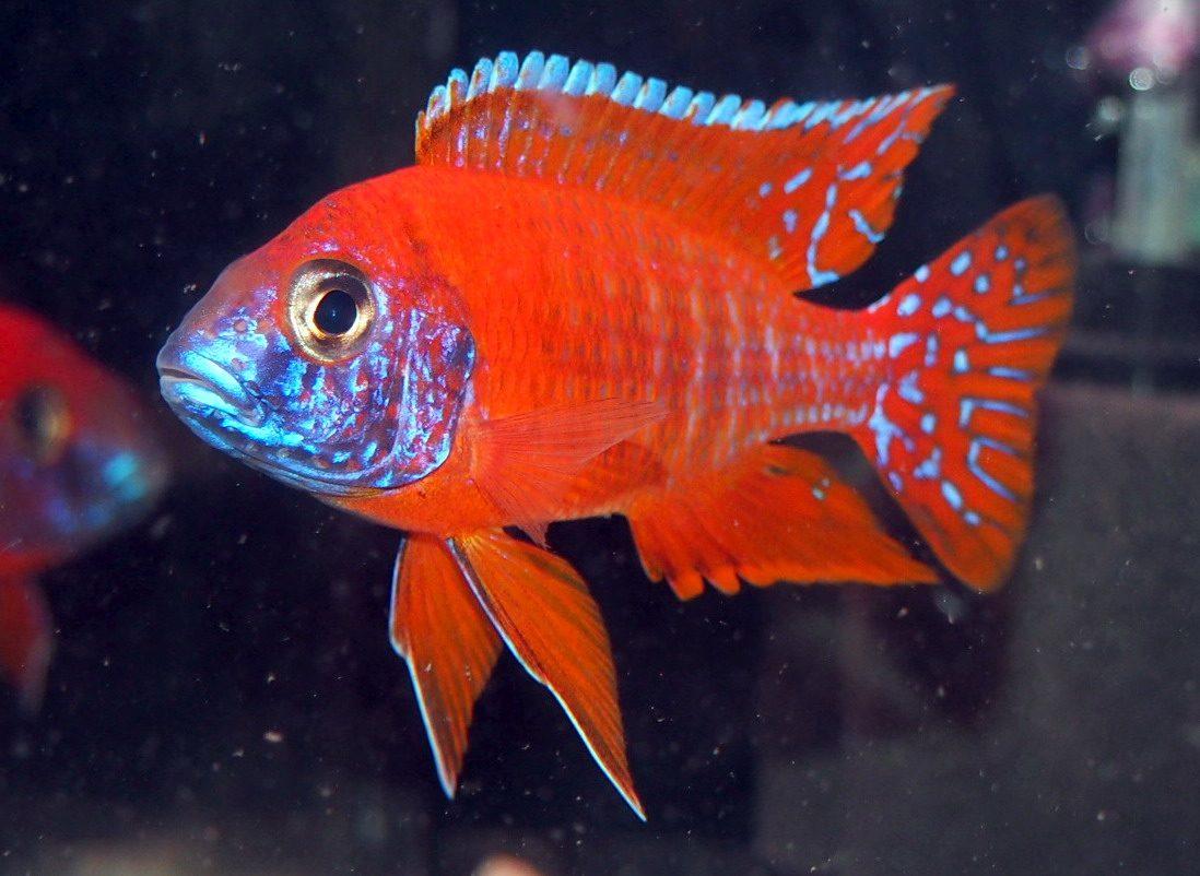 ปลาแก้มช้ำ