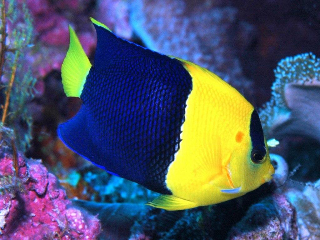 ปลาเหลืองดำ