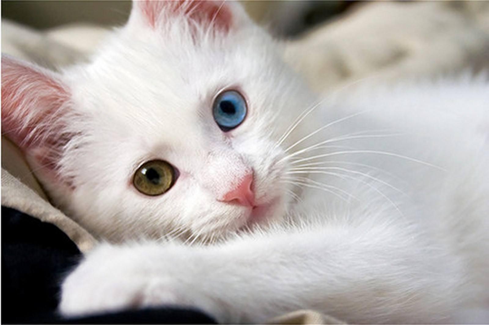แมวขาว