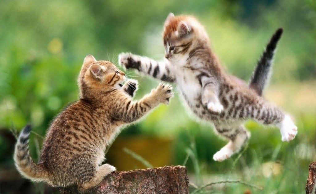 แมวต่อสู้กัน