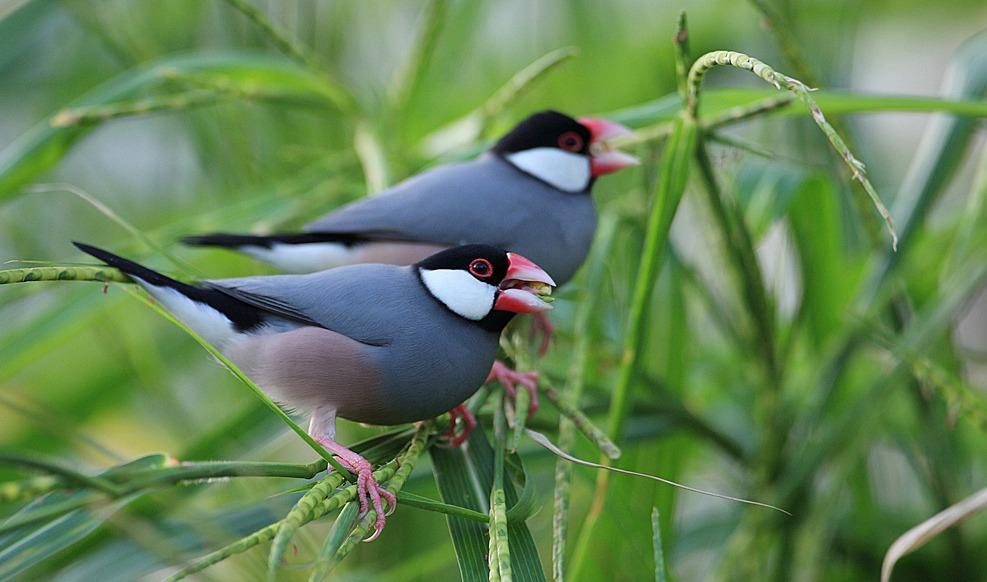 นกจีบกัน